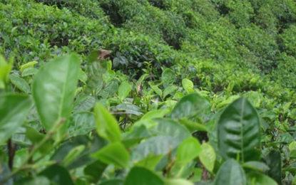 Sri Lanka's global Ceylon Tea Party kicks off