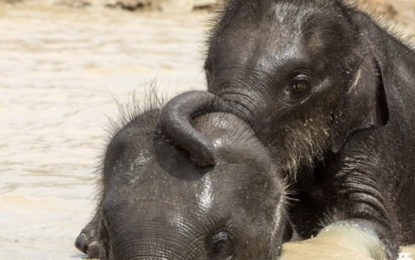 Water Play of Playful Elephant Cubs in Srilanka