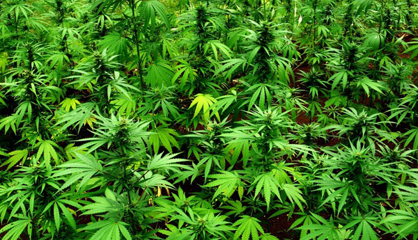 Srilanka Enters into Cannabis Plantation