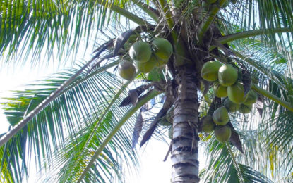 Reduction in Coconut Price within 2 Weeks