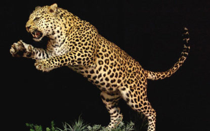 Man Eating Leopard Still Haunting in Hatton