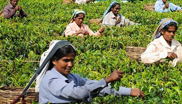 Sri Lanka Tea Prices Up In January 2018