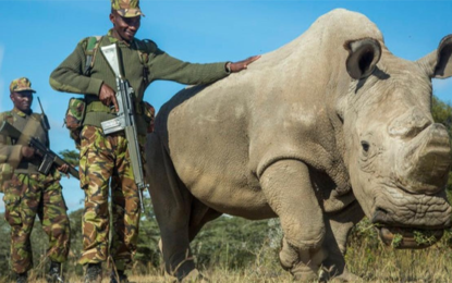 Sudan, The World's Last Male Northern White Rhino, Dies at Age 45