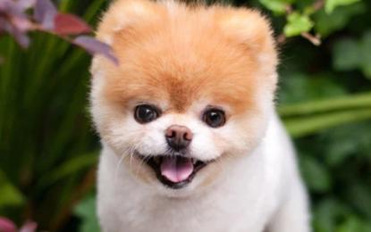 'World's cutest dog' Boo dies from a broken heart