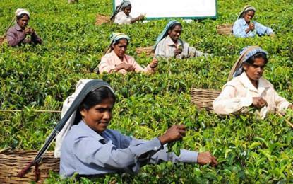 Sri Lanka Tea Prices Show Gains In Nov 2017