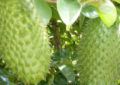 Agriculture Ministry promotes Prickly Custard Apple