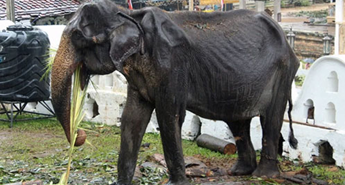 "Wildlife Ministry to probe ""Tikiri"" being used in Perahera"